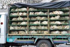 Переход цыпленка стоковое изображение rf