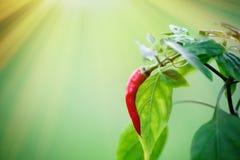 Перец красного chili на дереве перца chili Стоковое Фото