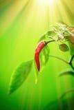 Перец красного chili на дереве перца chili Стоковая Фотография
