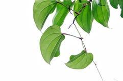 перец листьев Стоковое фото RF