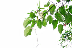 перец листьев Стоковые Фото