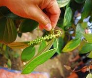 перец сада зеленый Стоковые Изображения
