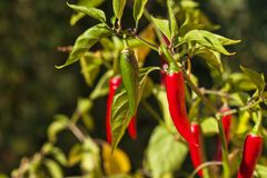 Перец чилей в саде растущие овощи Горячие специи в еде Стоковое Изображение
