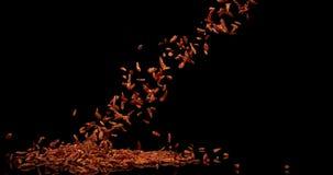Перец Chili Кайенны, frutescens capsicum, специя падая против черной предпосылки, замедленного движения сток-видео