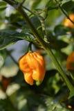 Перец Habanero горячий Стоковые Изображения