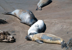 Перелинять/линять северное уплотнение слона на колонии уплотнения слона Piedras Blancas на центральном побережье Калифорнии Стоковое фото RF