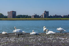 Перелиняя безгласные лебеди отдыхая рекой Стоковая Фотография RF