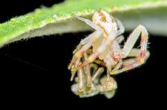 Перелиняя паук краба Стоковое Изображение RF