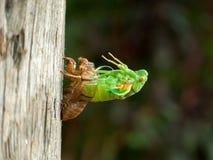 Перелиняя цикада Стоковые Изображения