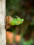 Перелиняя цикада Стоковые Фотографии RF