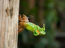 Перелиняя цикада Стоковое Изображение