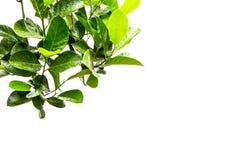 Передний план от листьев на белизне Стоковое Фото