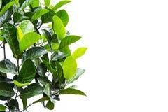 Передний план от листьев на белизне Стоковая Фотография