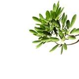 Передний план от листьев на белизне Стоковые Фото