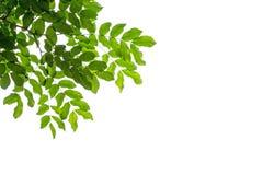 Передний план от листьев на белизне Стоковое Изображение RF
