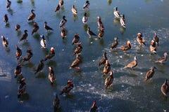 Перелётные птицы в парке Beihai Стоковые Фото