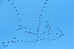 Перелётные птицы летая на голубое небо Стоковая Фотография RF