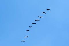 Перелётные птицы летая на голубое небо Стоковое Изображение RF