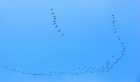 Перелётные птицы летая на голубое небо Стоковые Фото