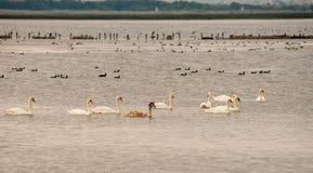 Перелётные птицы на Большом озере в Pomorie, Болгарии Стоковые Фото