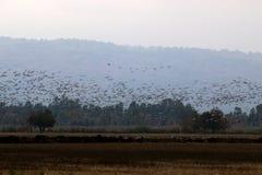 Перелётные птицы на озере Hula Стоковое фото RF