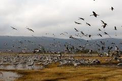Перелётные птицы на озере Hula Стоковое Фото