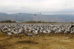 Перелётные птицы на озере Hula Стоковые Фото