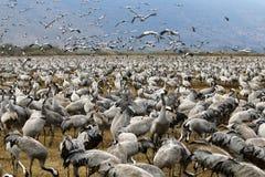 Перелётные птицы на озере Hula Стоковые Изображения RF
