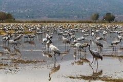 Перелётные птицы на озере Hula Стоковое Изображение