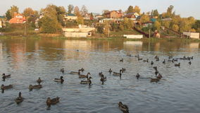 Пермь, Россия 28-ое сентября 2016: Сельский ландшафт с утками акции видеоматериалы