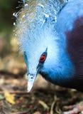 Перо голубой птицы длинное и красный глаз стоковое изображение