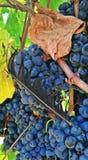 Перо и виноградины Стоковая Фотография