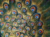 Перо павлина Стоковое Изображение RF