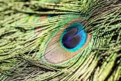 Перо павлина Стоковая Фотография RF
