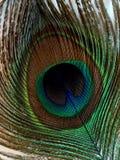 Перо павлина Стоковые Фотографии RF