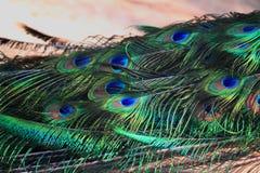Перо павлина Стоковые Изображения RF