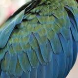 Перо попугая ары Стоковые Изображения RF