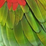 Перо попугая ары Стоковое Изображение