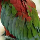 Перо попугая ары Стоковое Изображение RF
