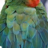 Перо попугая ары Стоковая Фотография RF