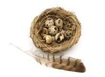 Перо птицы и яичек в гнезде изолированном на белом backgro Стоковое Изображение RF