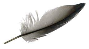 Перо птицы Стоковые Изображения