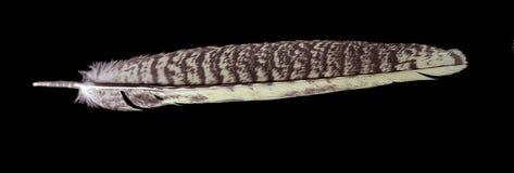 перо птицы черное над quill одиночным Стоковое Фото
