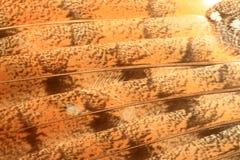Перо сыча амбара Стоковая Фотография