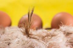 Перо цыпленка на фоне яичек в коричневой раковине Стоковое Изображение RF