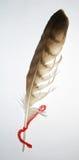 перо variegated Стоковое Изображение RF