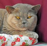 Персидская модель pussycat родословной кота shorthair британцев стоковая фотография