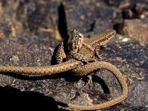 Персидская ящерица на утесах стоковые фото