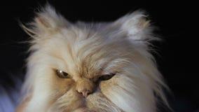 Персидский кот на черной предпосылке Кот цвета персика сидит и смотрит камера, лижа и подмигивая на глазе акции видеоматериалы