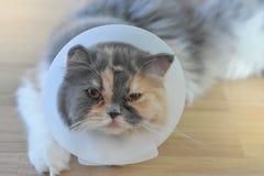 Персидский кот нося защитный воротник стоковые изображения